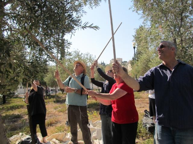 Photos of the Annual Ma'ale Adumim Olive Harvest